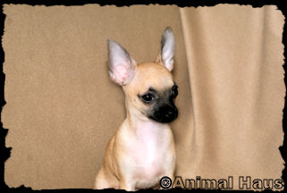Anthony Sable Smoothcoat male chihuahua puppy