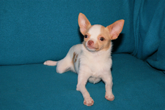 Blake- fawn and white spotted smoothcoat chihuahua male