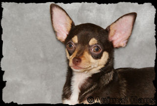 Brooklyn, chocolate with tan and with white markings Smoothcoat female chihuahua puppy
