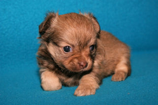 Chocolate Sable Female Longcoat Chihuahua Puppy