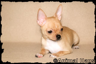 Cameron, fawn with black sabling and white markings smoothcoat male chihuahua puppy
