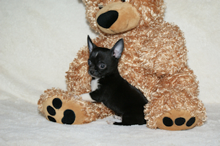 Chester - Black with white markings smoothcoat male chihuahua puppy