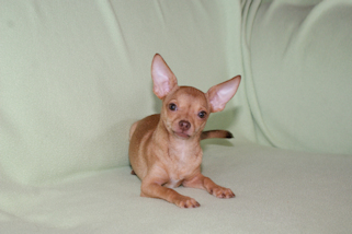 Eli- red fawn chihuahua smoothcoat male