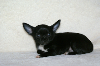 Leroy - Black with white markings smoothcoat male chihuahua puppy