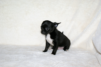 Chester and Leroy - Black with white markings smoothcoat male chihuahua puppy