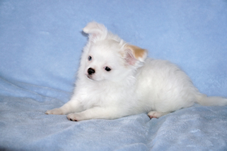 Olaf, white with fawn spotted longcoat male chihuahua puppy