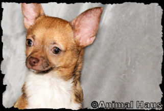 Oscar - Sable and white markings smoothcoat male chihuahua puppy