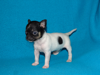 Black and White Spotted Smoothcoat Female Chihuahua puppy