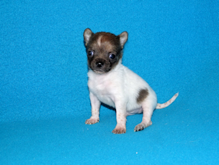 Sable Spotted Longcoat Male Chihuahua puppy