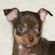 chocolate smoothcoat chihuahua puppy female