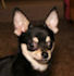 Tyler- Black with tan and white markings smoothcoat male chihuahua puppy